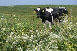 Point Reyes Dairy Cow